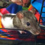 Piper and Viva - adoptable female rats