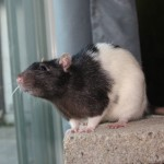 Nicolas - an adoptable neutered male rat