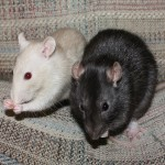 Peach and Leah - adoptable female rats