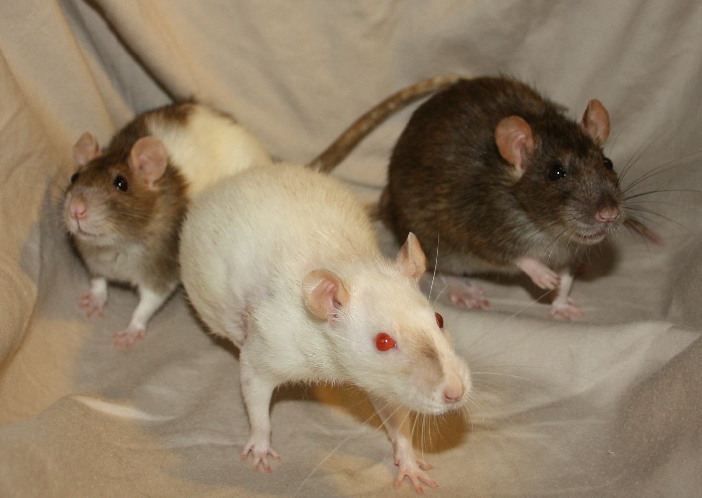 adoptable female rats