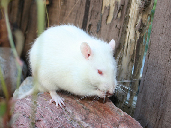 Chuu - an adoptable neutered male rat