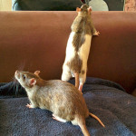 Indy and Leto - adoptable neutered male rats