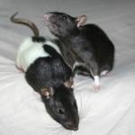 Clarissa and Daria - adoptable female rats