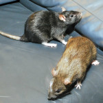 Frankie and Willa - adoptable spayed female rats