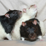 Oreo, Vanilla and Ryan - adoptable male rats
