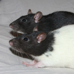 Sandy and Rizzo - adoptable spayed female rats