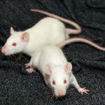 Chewie and Luke - adoptable male rats