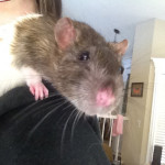 Clara and Emily - adoptable spayed female rats
