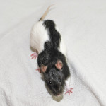 North Bay Crew - adoptable female rats