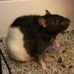 Cooper - an adoptable male rat