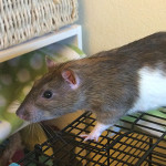 Rex - an adoptable male rat