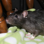R1199 - adoptable male rat