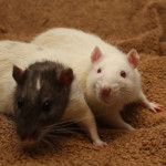 Two adoptable male rats