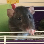 Minni - an adoptable spayed female rat