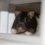 Missy and Lizzy - adoptable spayed female rats