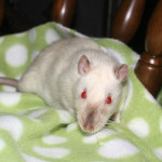 Sherlock - an adoptable male rat