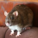Dot and Mim - adoptable female rats