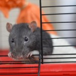Fred & Barney - adoptable male rats
