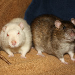 Tater and Tot - adoptable male rats