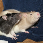 Tick Tock Boys - adoptable male rats