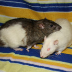 Ron and Rufus - adoptable neutered male rats