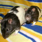 Orion and Nugget - adoptable male rats