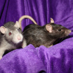 Chloe and Jean - adoptable female rats