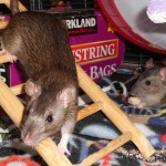 Lucy and Ethel - adoptable female rats