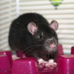 Abbott and Costello - adoptable male rats