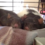 Donut and Doc - adoptable neutered male rats