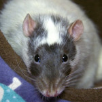 Winston - an adoptable male rat