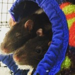 Trixie and Paul - adoptable rats