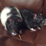 Zero and Duo - adoptable neutered male rats