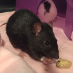 Otter and Orca - adoptable female rats