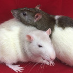 Brillo and Rebel - adoptable male rats