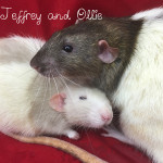 Ollie and Jeffery - adoptable male rats