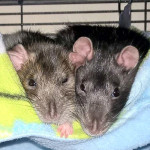 Dolche and Gabby - adoptable female rats