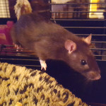 Sugar and Spice - adoptable female rats