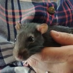Costello - an adoptable male rat