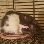 Apryl and Mae - adoptable female rats