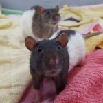 katy and cookie - adoptable female rats