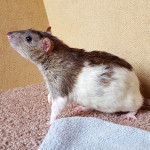 Kirby, Buster and Bruno - adoptable neutered male rats