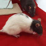 Minnie, Sekhmed and Tefunt - adoptable female rats