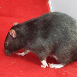 Pirate and Midget - adoptable male rats