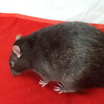 Midget and Mischief - adoptable male rats