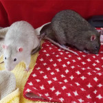 steven and mischief - adoptable male rats
