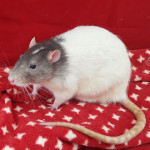 Grey - an adoptable male rat