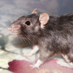 Six Old Boys - adoptable male rats