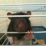 JonJon and Jimmy - adoptable male rats