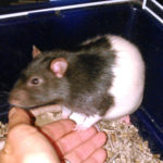 Timmy - an adoptable male rat